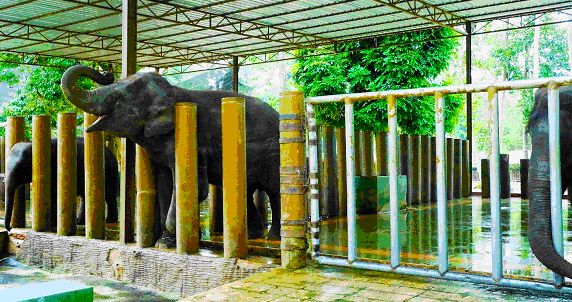 Selendang, one of the many elephants in NECC