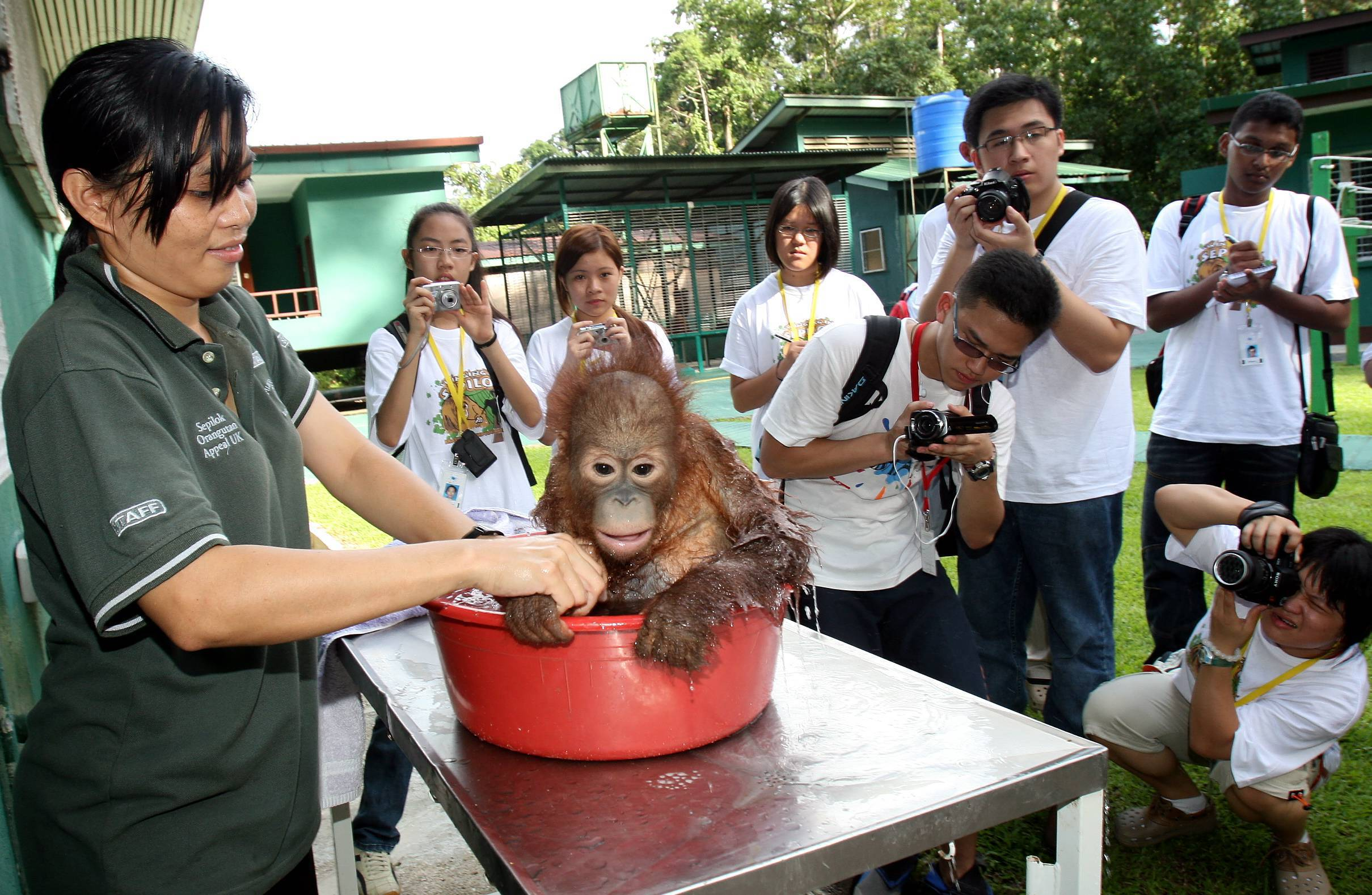 The BRATs watching closely as the young orang-utan took his daily bath. The BRATs were at the Sepilok Orang-utan Rehabilitation Centre as part of the Swinging in Sepilok BRATs year-end journey 2008.